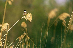 Reed bunting singing on reed {Emberiza schoeniclus} Sweden  -  Bjorn Forsberg