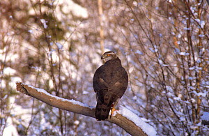 Northern goshawk female perched in snow {Accipiter gentilis} Sweden  -  Bjorn Forsberg