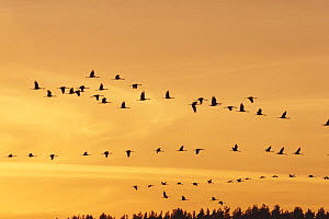 Common cranes {Grus grus} flying against sunset, Sweden  -  Bjorn Forsberg