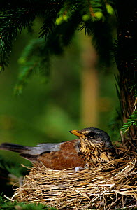Fieldfare sitting on nest {Turdus pilaris} Sweden  -  Bjorn Forsberg