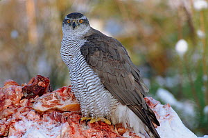 Northern goshawk female feeding {Accipiter gentilis} Sweden  -  Bjorn Forsberg