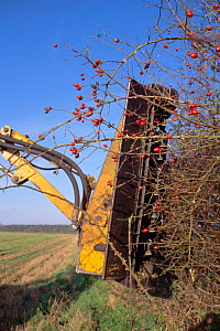 Hedge cutting in autumn - wrong time as berries are removed + birds cannot feed, UK - Martin H Smith