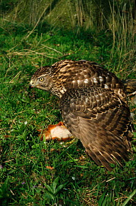 Northern goshawk {Accipiter gentilis} feeds on Red squirrel prey, Thetford Forest, Norfolk, UK - Martin H Smith