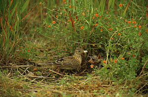 Skylark with chicks at nest on ground {Alauda arvensis} UK - Martin H Smith