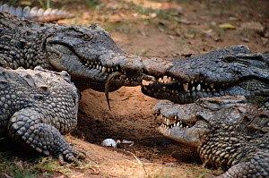 Nile crocodile carries newly hatched young in mouth {Crocodylus niloticus} Madagascar. Nile crocodiles bury their eggs in sand and when the babies hatch they call out until the mother digs them up and... - Martin H Smith