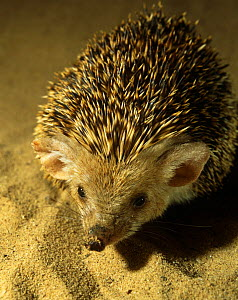 Captive Long eared desert hedgehog {Hemiechinus auritus} from North Turkmenistan, CIS  -  Mark Yates