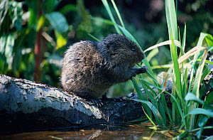 Water vole feeding {Arvicola terrestris} Fens, Norfolk, UK - Martin H Smith