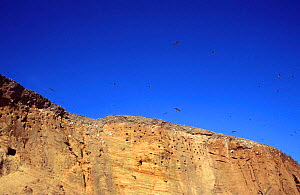 Sand martins flying above cliffs with nest holes {Riparia riparia} Norfolk, UK - Martin H Smith