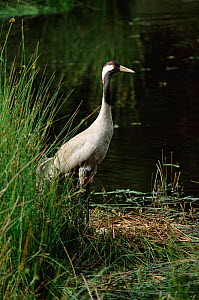 Common crane at nest {Grus grus} Norfolk, UK - Martin H Smith