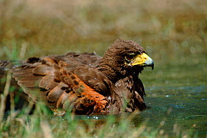 Harris hawk bathing {Parabuteo unicinctus} Texas, USA  -  David Welling