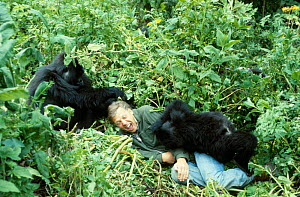 Sir David Attenborough with mountain gorillas, on location for BBC series  'Life on Earth', Rwanda, Africa 1978  -  John Sparks