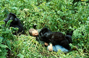 Sir David Attenborough with mountain gorillas on location for BBC series 'Life on Earth', Rwanda, Africa 1978  -  John Sparks