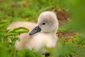 Very young Mute swan cygnet {Cygnus olor} Dorset, England, UK, Europe  -  TJ Rich