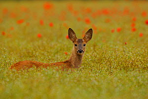 Alert young male Roe fawn {Capreolus capreolus} amongst poppies, England, UK, Europe  -  TJ Rich
