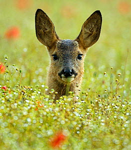 Female Roe deer {Capreolus capreolus} head portrait in flowering field, England, UK, Europe - TJ Rich