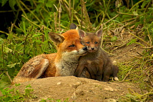 Female Red fox {Vulpes vulpes} with cub, intimate portrait of affection and close bond between mother and young, England, UK, Europe - TJ Rich