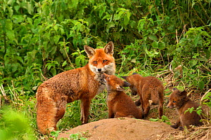 Red fox mother with cubs {Vulpes vulpes} outside den, young interacting with their mother, England, UK, Europe  -  TJ Rich