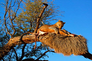 Leopard {Panthera pardus} in tree with springbok kill. Namibia, Southern Africa.  -  TJ Rich