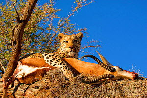 Leopard {Panthera pardus} in tree with Impala kill  Namibia, Southern Africa  -  TJ Rich