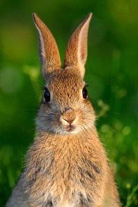 Young European rabbit {Oryctolagus cuniculus} head on portrait,  Hampshire, England, UK - TJ Rich