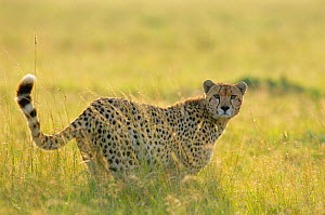 Female Cheetah in long grass {Acinonyx jubatus} Masai Mara National Reserve Kenya  -  Peter Blackwell