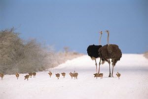 Ostrich {Struthio camelus} pair on road with fourteen chicks,  Etosha NP, Namibia  -  Andrew Parkinson