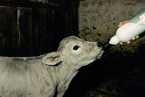 Charolais cross calf bottle feeding {Bos taurus} Scotland, - Colin Seddon