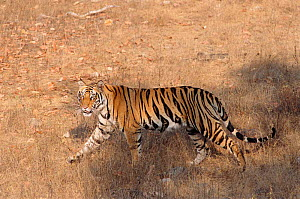 Walking profile of Bengal tiger {Panthera tigris tigris} Bandhavgarh NP India  -  E.A. KUTTAPAN