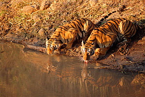 Two Bengal tigers drinking at waterhole {Panthera tigris tigris} Bandhavgarh NP India  -  E.A. KUTTAPAN