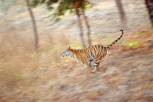 Bengal tiger running through grass {Panthera tigris tigris} Bandhavgarh NP India  -  E.A. KUTTAPAN