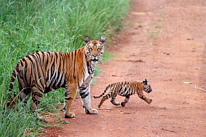 Bengal tigress with very young cub {Panthera tigris tigris} Bandhavgarh NP,  India  -  E.A. KUTTAPAN