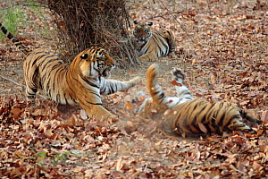 Bengal tigers dispute over prey {Panthera tigris tigris}  Bandhavgarh NP, India  -  E.A. KUTTAPAN