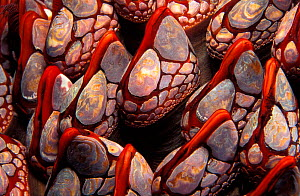 Close up of Goose barnacles {Pollicipes polymerus} British Columbia, Canada, Pacific North West NOT FOR SALE IN USA - Brandon Cole