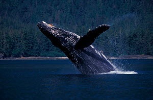 Humpback whale {Megaptera novaeangliae} breaching at surface, Frederick Sound, Alaska, USA, Pacific Ocean. NOT FOR SALE IN USA  -  Brandon Cole