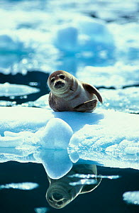Portrait of Common / Habour seal {Phoca vitulina} on ice floe, Le Conte Glacier, South East Alaska, USA NOT FOR SALE IN USA - Brandon Cole