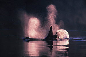 Killer whales {Orcinus orca} at surface, San Juan Islands, Washington, North America. NOT FOR SALE IN USA  -  Brandon Cole