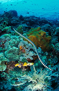 Banded sea krait {Laticauda colubrina} swimming over coral reef, Sulawesi, Indonesia, Indo Pacific NOT FOR SALE IN USA  -  Brandon Cole