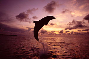 Bottlenose dolphin {Tursiops truncatus} leaping at sunset, Honduras, Roatan, Caribbean NOT FOR SALE IN USA  -  Brandon Cole