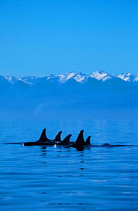 Pod of Killer whales at sea surface {Orcinus orca} San Juan Islands, Washington, North America.  NOT FOR SALE IN USA  -  Brandon Cole