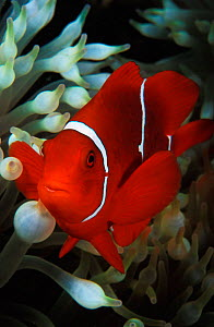 Portrait of Spine cheeked anemonefish {Premnas biaculeatus} Milne Bay, Papua New Guinea. NOT FOR SALE IN USA  -  Brandon Cole