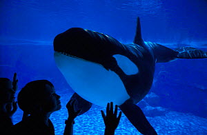 Children in aquarium viewing Killer whale {Orcinus orca} marine aquarium, USA. NOT FOR SALE IN USA, FOR EDITORIAL USE ONLY  -  Brandon Cole