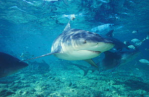 Bull sharks {Carcharhinus leucas} in shallow water Bahamas, Caribbean Atlantic. NOT FOR SALE IN USA  -  Brandon Cole