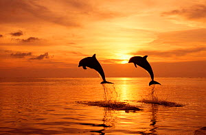 Two Bottlenose dolphins {Tursiops truncatus} leaping above surface at sunset, Honduras, Roatan, Caribbean  NOT FOR SALE IN USA  -  Brandon Cole