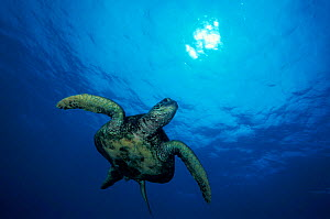 Green turtle {Chelonia mydas} swimming below sea surface, Hawaii,  Pacific Ocean, Endangered species. NOT FOR SALE IN USA  -  Brandon Cole