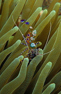 Spotted cleaner shrimp {Periclimenes yucatanicus} amongst sea anemone tentacles, Dominica Caribbean Sea. NOT FOR SALE IN USA - Brandon Cole
