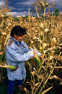 Native American child collecting corn crop, Taos Pueblo, Taos, New Mexico, USA  -  John Cancalosi