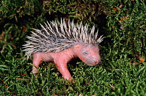 Orphan one-week-old Hedgehog baby {Erinaceus europaeus} Germany  -  Ingo Arndt