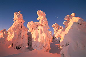 Trees covered with snow, Brocken, Harz NP, Germany. Sunrise sequence  -  Ingo Arndt