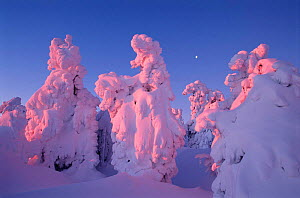 Trees covered with snow Sunrise sequence, Brocken, Harz NP, Germany  -  Ingo Arndt
