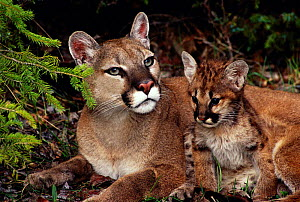 Puma with kitten {Felis concolor}. Also known as mountain lion or cougar. - Dave Watts